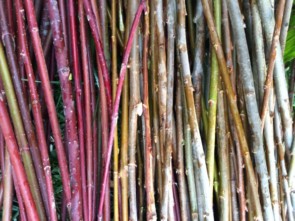 Assorted Willow & Red Osier Dogwood for basket weaving--I got it harvested, even though the snow was flying!